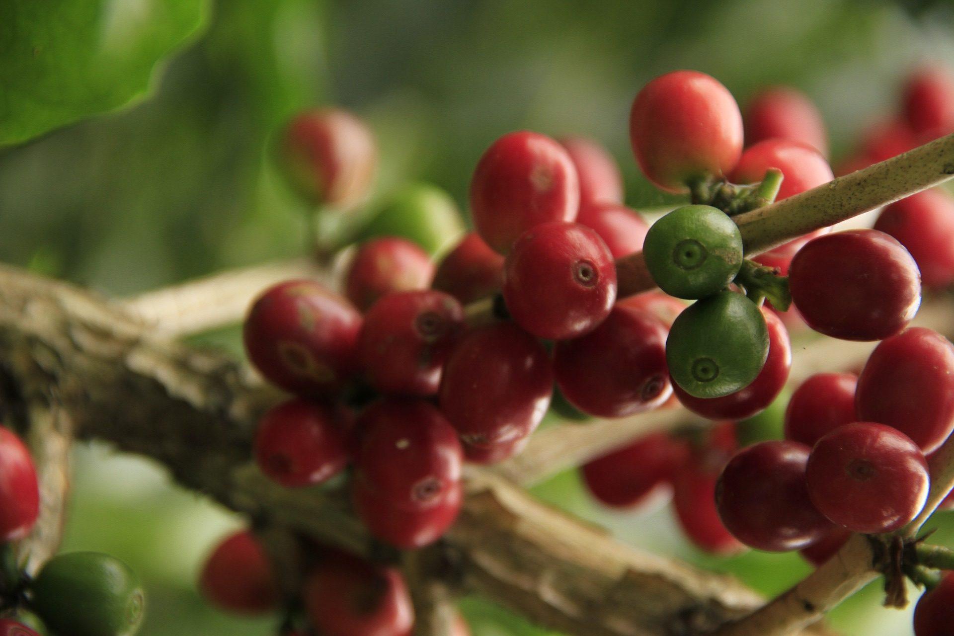 métodos tratamiento grano café